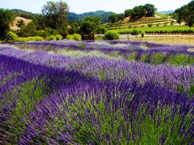 highland springs lavender